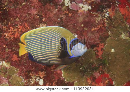 Emperor Angelfish coral reef fish