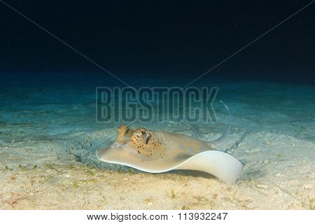 Bluespotted stingray sting ray on sandy seabed