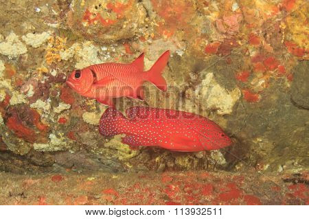 Coral Grouper and Squirrelfish fish on reef