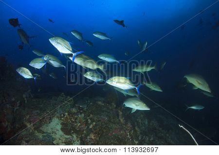 Tuna fish underwater live sea ocean