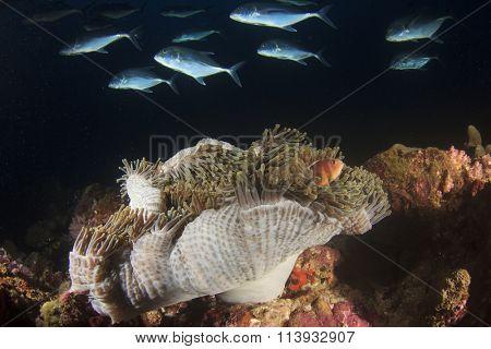 Anemone, Clownfish, Nemo fish, Anemonefish