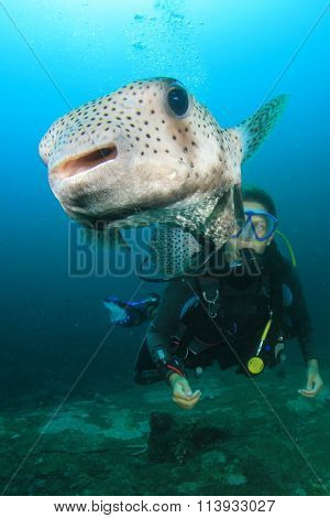 Porcupinefish fish and young woman scuba diver