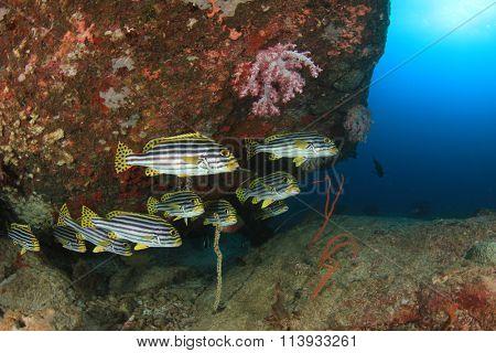 Oriental Sweetlips fish on coral reef
