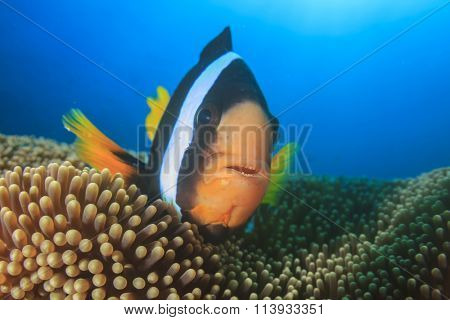 Closeup of Clownfish Nemo fish (Clark's Anemonefish)
