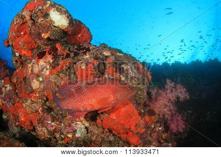 Coral reef and red grouper fish underwater Thailand
