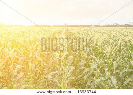 Corn maize farm against blue sky