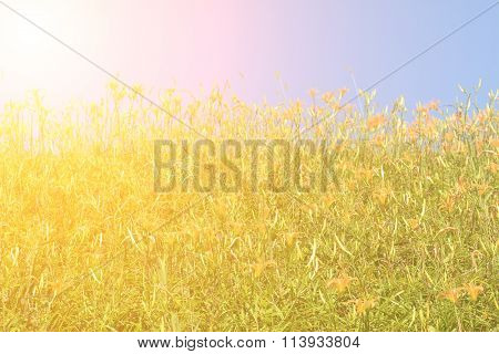 Field of tiger lily (daylily) flowers