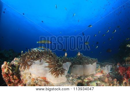 Coral reef anemones clownfish underwater sea ocean blue water background