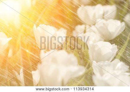 Rain on tulip of flowers garden of white color.