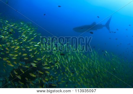 Snapper fish school with whale shark in background