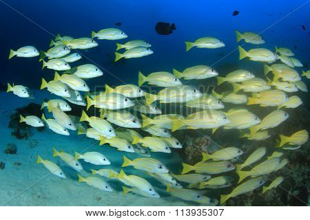 Underwater fish school yellow snappers