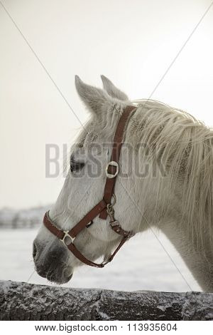 portrait of white horse at frozen winter day in paddock