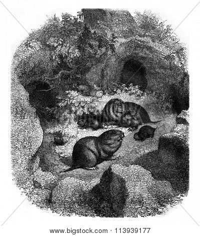 The Geomys and its burrow, vintage engraved illustration. Magasin Pittoresque 1878.
