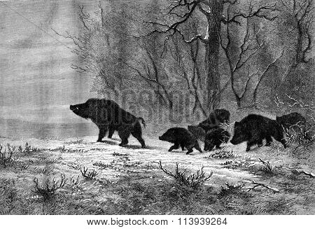 Boars, Plain output, vintage engraved illustration. Magasin Pittoresque 1878.