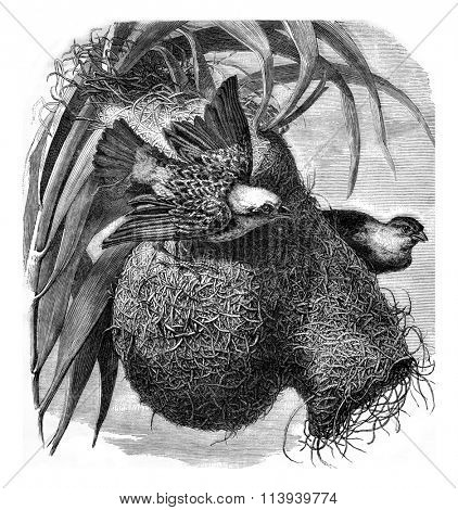 Manyar Weaver and his nest, vintage engraved illustration. Magasin Pittoresque 1876.