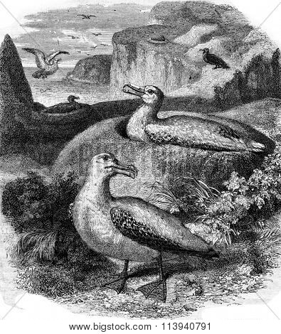Albatros and its nest, vintage engraved illustration. Magasin Pittoresque 1873.