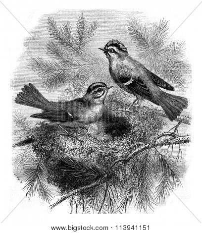 Kinglet whiskers and her nest, vintage engraved illustration. Magasin Pittoresque 1870.