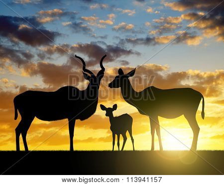 Silhouette Greater kudu at sunset