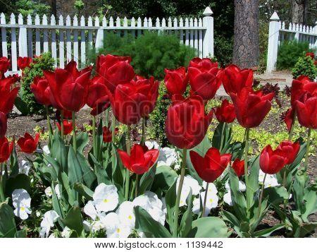 rote Tulpen in einem Garten