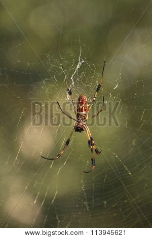 Banana Spider On A Web
