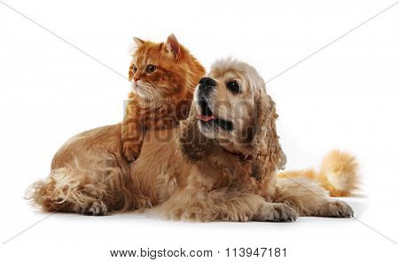 American cocker spaniel and red cat together isolated on white