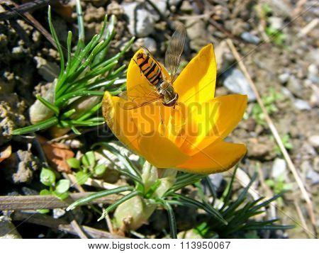 flowering crocus with bee