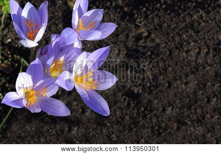 Large Flowers Of A Snowdrop Against A Dark Background