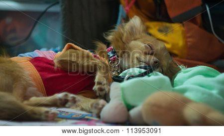 Chiwawa Puppy Sleeping