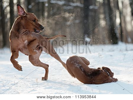 Ridgebacks on the snow