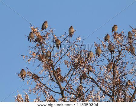 Flock Waxwing