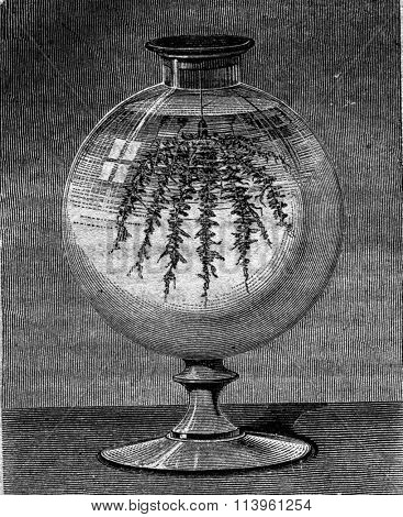 Tree of Saturn, vintage engraved illustration. Magasin Pittoresque 1870.