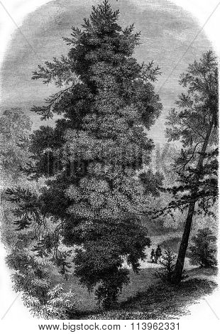 Jardin des Plantes in Paris. Fir overgrown with ivy, vintage engraved illustration. Magasin Pittoresque 1869.