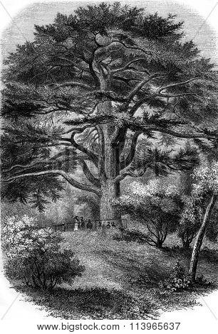 Jardin des Plantes in Paris, The Cedar of Lebanon, vintage engraved illustration. Magasin Pittoresque 1869.
