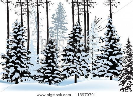 illustration with fir forest silhouettes in snow
