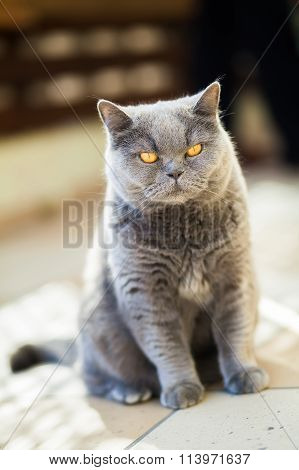 Unpleased British Gray Cat