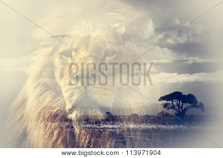 Double exposure of lion and Mount Kilimanjaro savanna landscape. Vintage