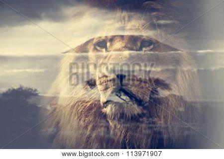 Double exposure of lion and Mount Kilimanjaro savanna landscape. Vintage