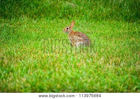 A lonely hare cautious on a summer morning