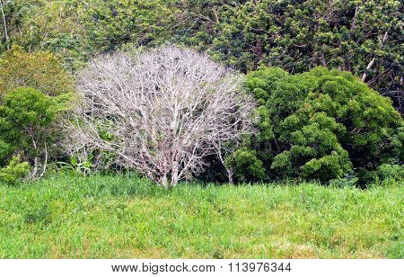 a white leafless tree in the Amazon