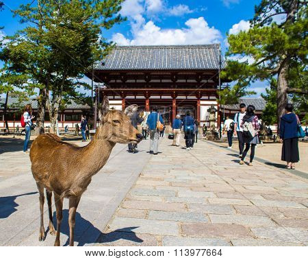 Nara, Japan - October 13, 2015 -  Sika Deer Live Freely Near A Temple In Nara, Japan