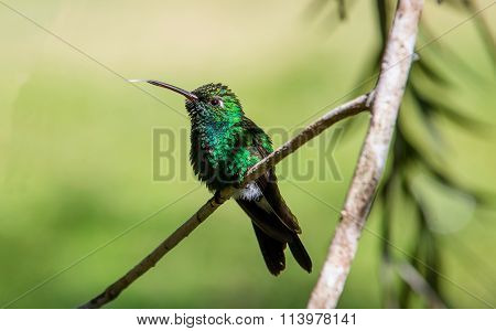 Flying Cuban Emerald Hummingbird (chlorostilbon Ricordii),