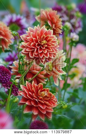 Motley dahlias in the garden.