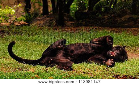Panther Looks Like A Kitty