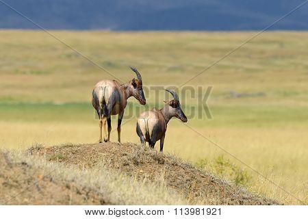 Topi Antelope (damaliscus Lunatus)
