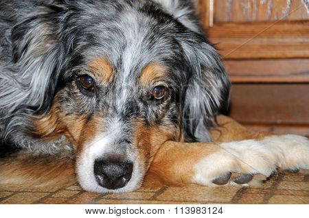 Portrait of an Australian Shepherd lying down