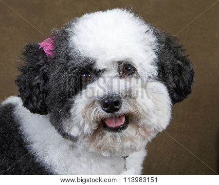 black and white poodle mix recently groomed with pink bows in hair wearing a collar, portrait