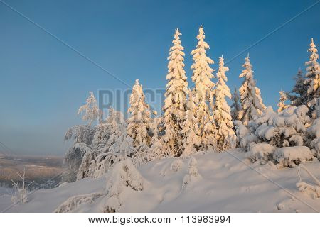 Heavily Snowcapped Trees In Sunset