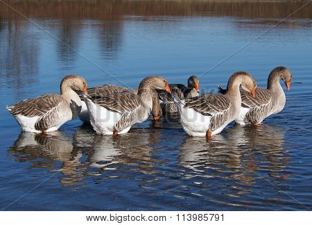 Grey domestic geese on a lake