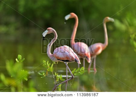 Caribbean Flamingos ( Phoenicopterus Ruber Ruber ) On Pond In Cuba.