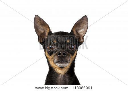 Toy Terrier Mini